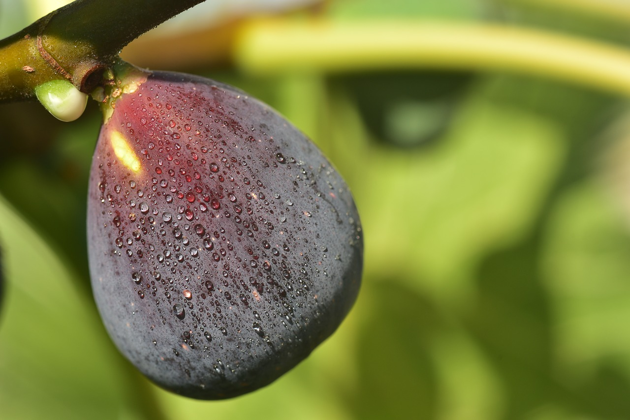 How to Grow a Healthy Fig Tree in Your Garden